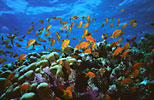 Anthias on coral reef