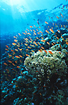 Red Sea Coral reef with Anthias