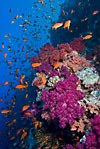 Red Sea coral reef + Anthias