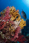 Coral reef with Unicornfish