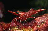 Hinge-beak Shrimp