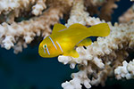 Lemon Coral Goby