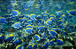 Powder-blue Surgeonfish