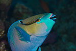 Rusty parrotfish with cleaner