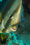 Spadefish (Batfish) with cleaner