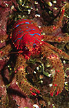 Spiny Squat Lobster