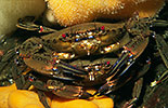 Velvet swimming crab pair