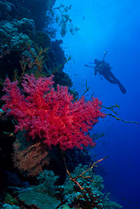 Diver and coral, Red Sea